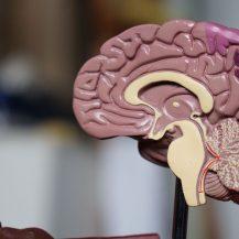 side cut of brain model